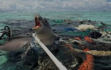 seal-caught-in-pacific-ocean-trash-621x349